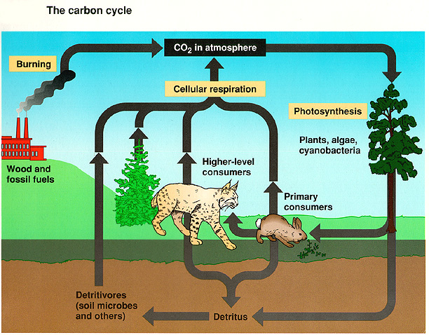 Science focus topic 5 notes cycles in the environment ccuart Image collections